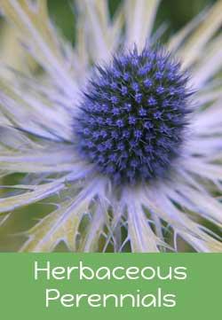 herbaceous-perennials