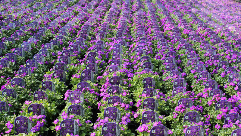 Aubrieta Axcent Purple