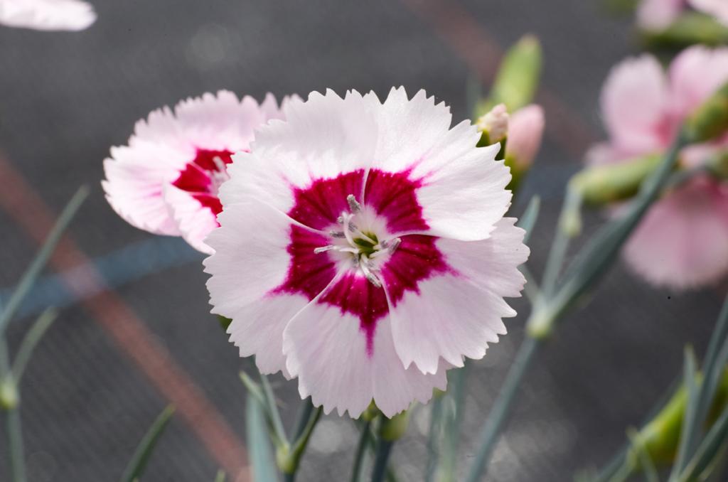 Lovania Dianthus Blushing Star